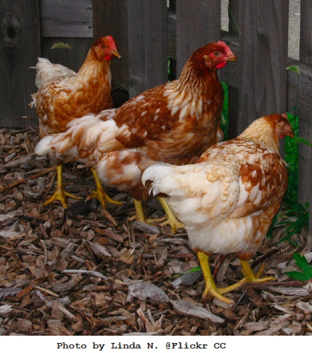 Chickens: 12 of the Best Brown Egg-Layers | Big Picture Agriculture