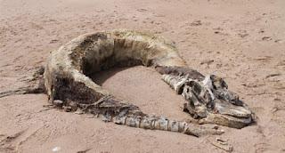 «Θαλάσσιο τέρας» ξεβράστηκε στη Βρετανία