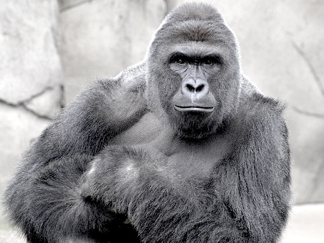 Harambe, Parenting, People and Grace