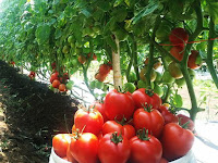 Tahapan Cara Budidaya Tomat dengan Mulsa Plastik