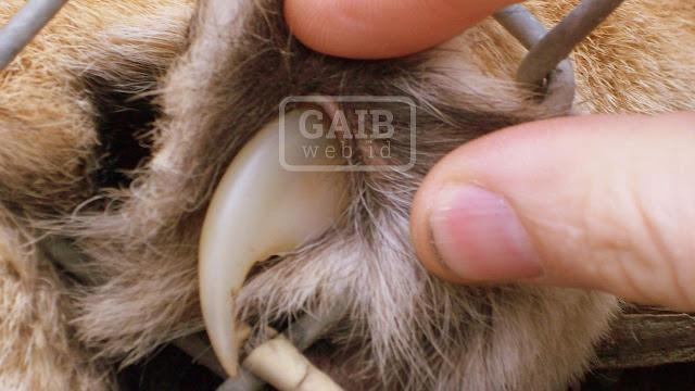 Khasiat Kuku Macan Kumbang