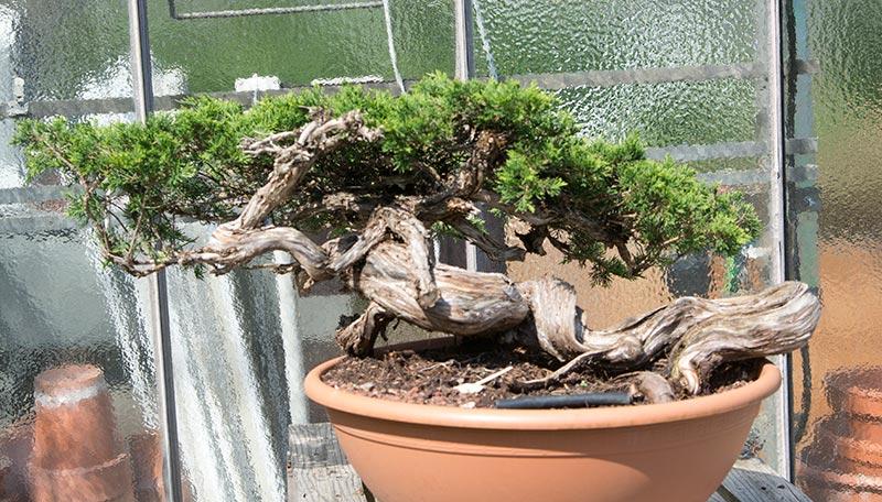 walter pall bonsai adventures minoru bonsai 2015 1. Black Bedroom Furniture Sets. Home Design Ideas