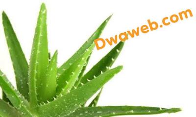 نبات الألوفيرا(الصبار) فى علاج إلتهاب الحلق