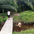 Babi Hutan Bermatian, Harimau TNBS Turun ke Permukiman Warga
