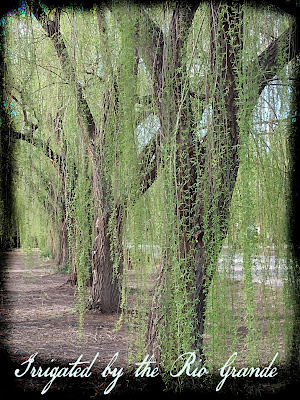 spring weeping willows in las cruces new mexico