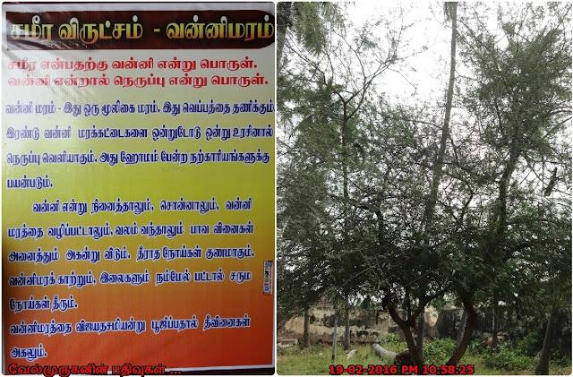Vanni Maram - Vanni Tree