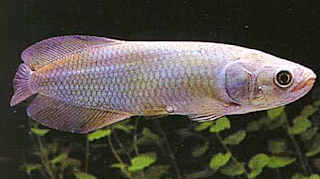 Jenis Ikan arwana Unik yang jarang kita temuia ialah jenis Arwana Afrika atau African Aro Kabar Terbaru- ARWANA AFRIKA HETEROSIS (Cuvier, 1829) YANG BIKIN MERINGIS