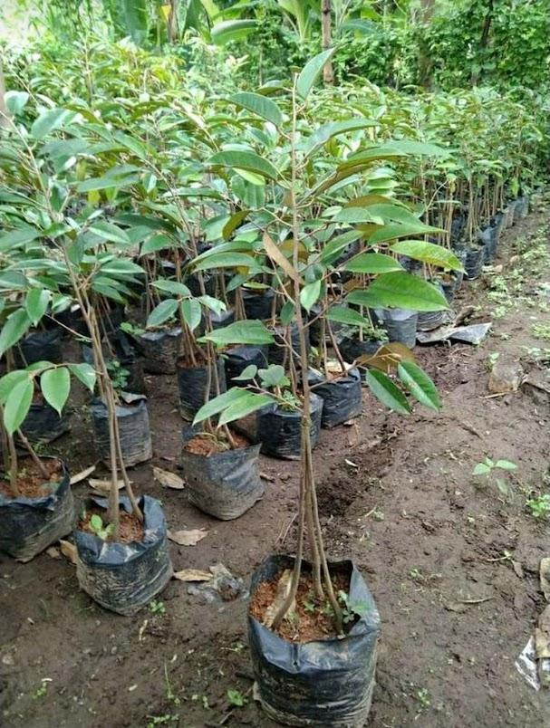 bibit durian kaki 3 bawor okulasi cepat berbuah Lampung