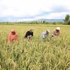 Produksi Padi Meningkat, Ongkos Tanam Lebih Hemat Berkat Go Sri