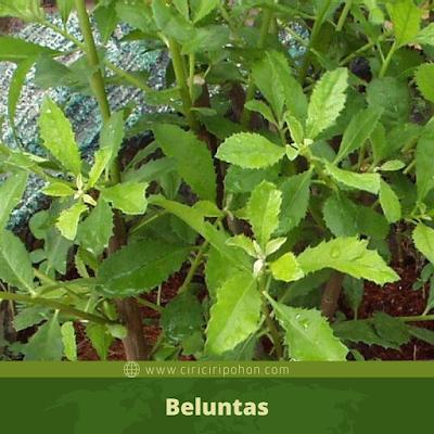 Beluntas
