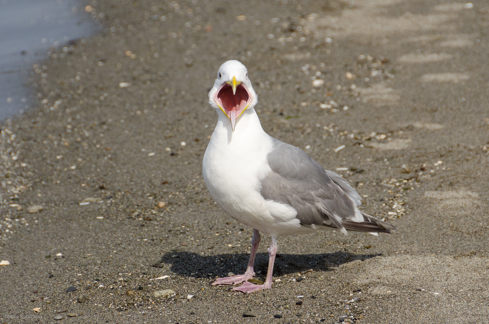 eef24a49f4518 A Seagull with it's Mouth Open | BlueisKewl