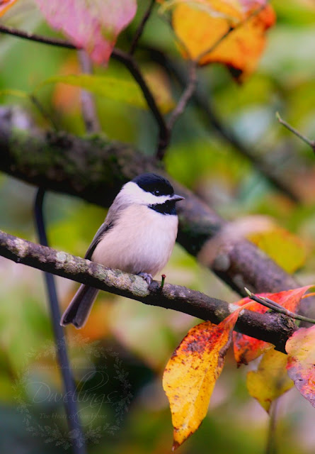 Chickadees perching on the fall dogwood tree!
