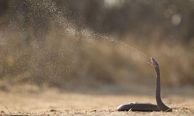 Kobra Peludah (Naja Sumatrana)