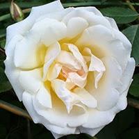 Rival de Paestum (Rosa cinese)