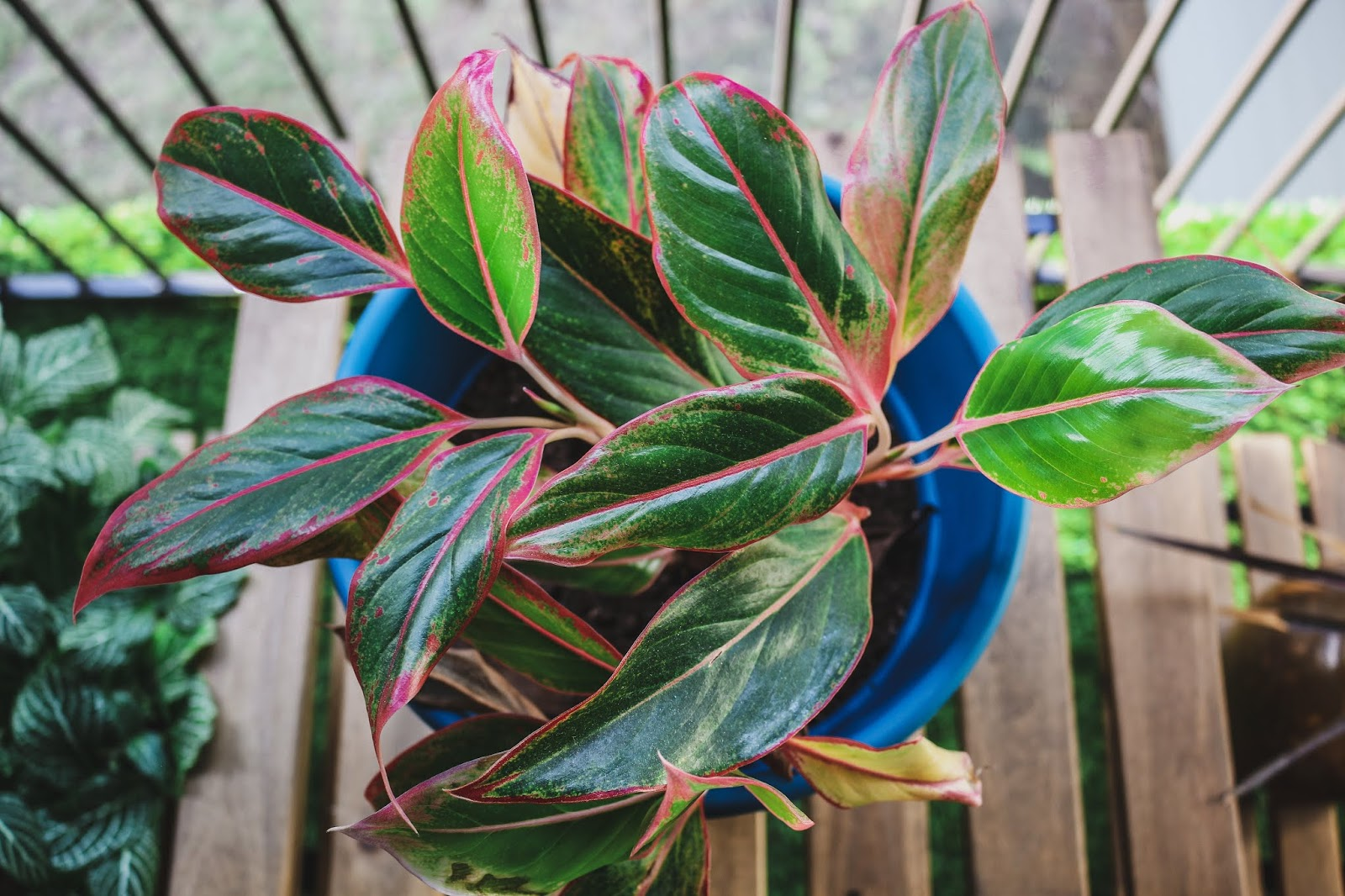 pink chinese evergreen