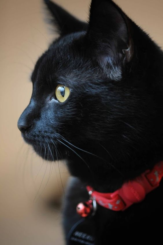 Black Cat Is Not Bad Luck The Pets Dialogue