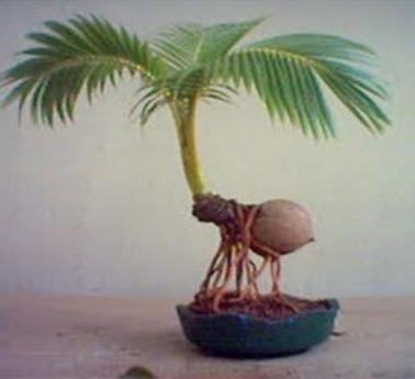 Bonsai Kelapa Cocos Nucifera Centralbonsai Com Berbagi Ilmu