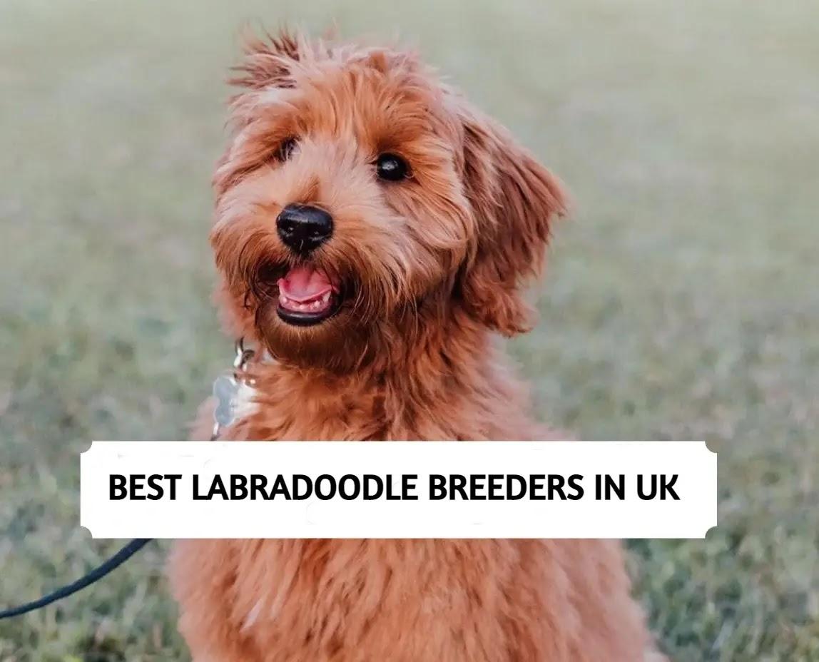 Best Labradoodle Breeders in UK