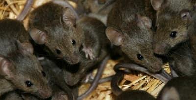 كارثة وفضيحة : الفئران والقوارض تلتهم رخص ووثائق التعمير الخاصة بالساكنة