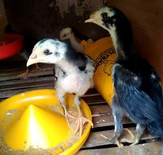 Cara merawat ayam bangkok muda