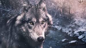 wolf hybrid, wolf dog, wolf dog hybrid, wolfdog dogs, most dangerous dogs