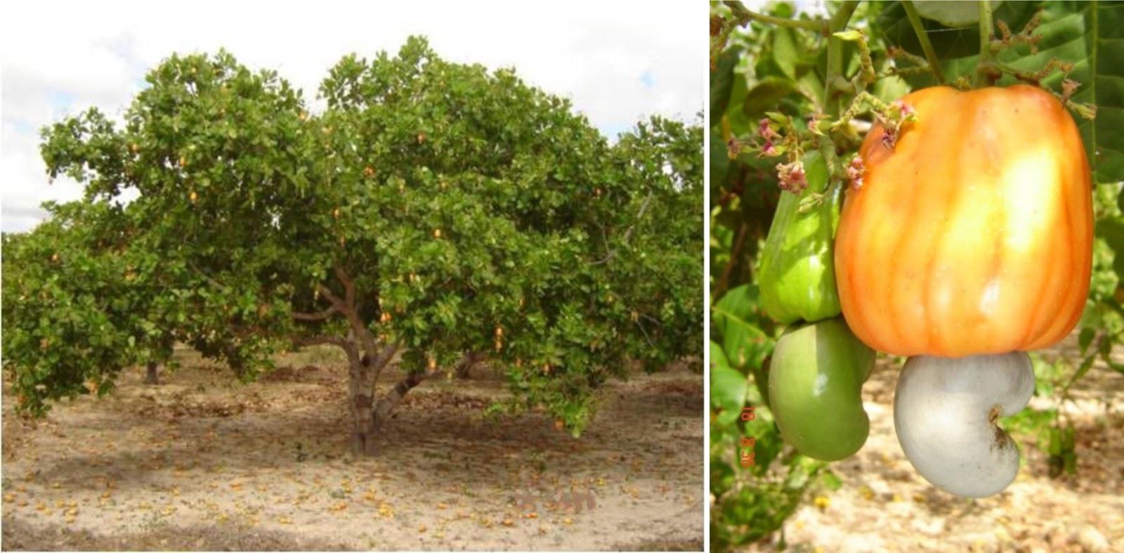 Cashew (Anacardium occidentale)