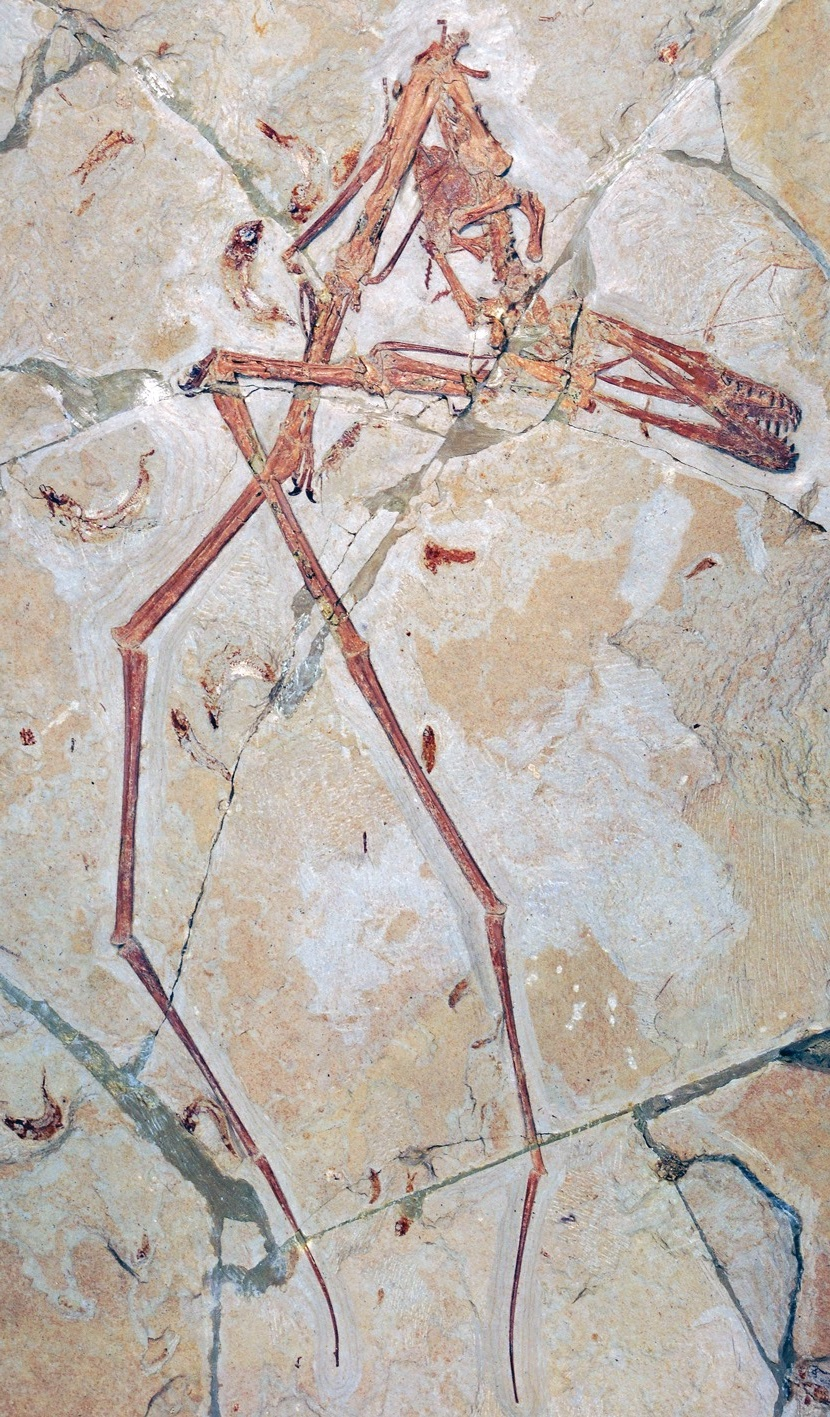 Mimodactylus_libanensis-novataxa_2019-Kellner_Caldwell_Holgado_et_al--%2540pterosaurios.jpg