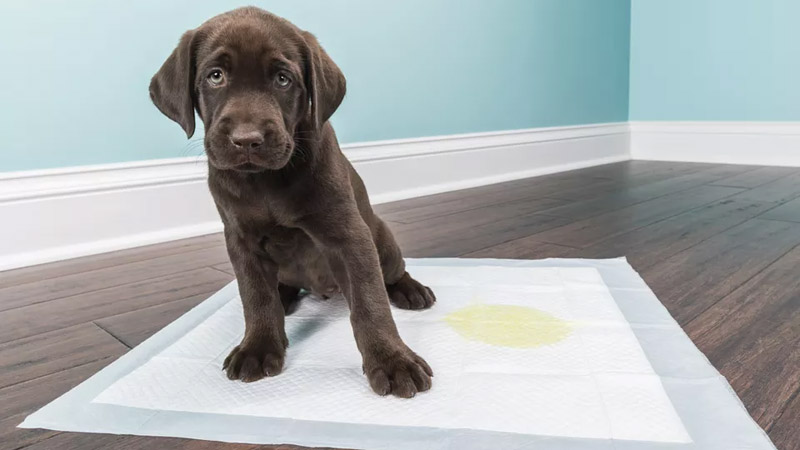 How to Train Your Puppy to Go on Potty Pads