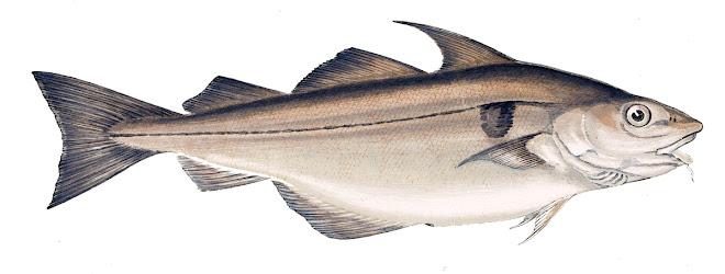 Aiglefin ou Églefin