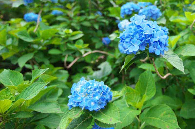 Blue hydrangea blossoms