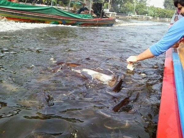 cho cá ăn trên sông Chaophraya