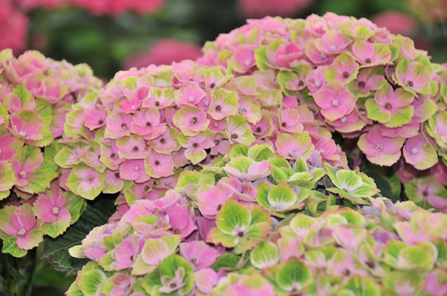 Amethyst hydrangea pink and green