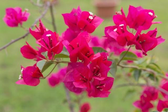 cay hoa giay dep