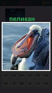 пеликан открыл свой клюв где видно пойманная рыба