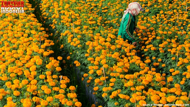 Marigold flowers Instagramable photo spots