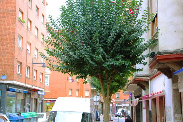 Árbol que entra por la ventana en la calle Arrandi