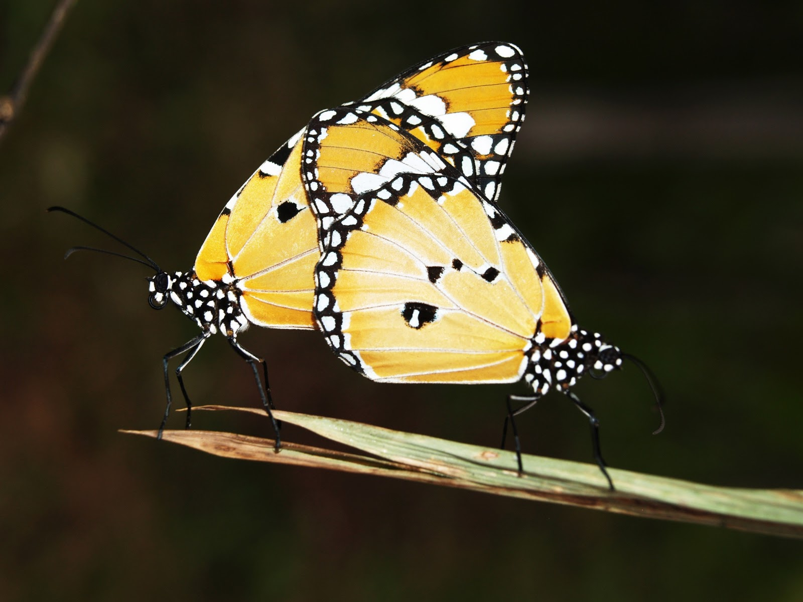 yellow-black-and-white-monarch-butterfly-pictures