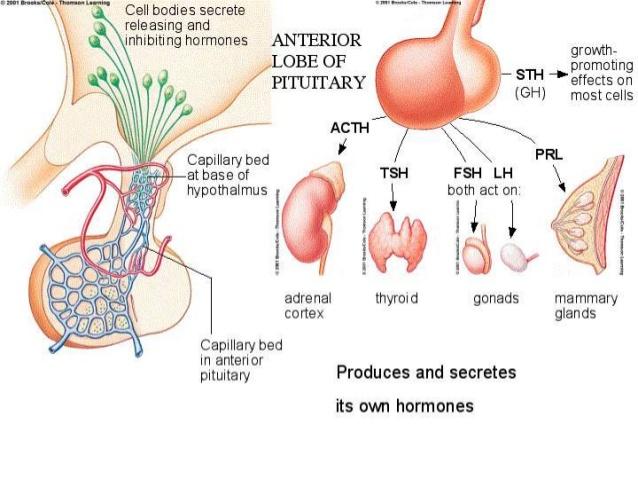 jenis jenis hormon yang dihasilkan kelenjar pituitari/hipofisis