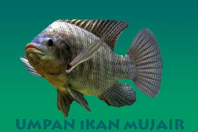 3 Umpan Ikan Mujair Ampuh dan Jitu