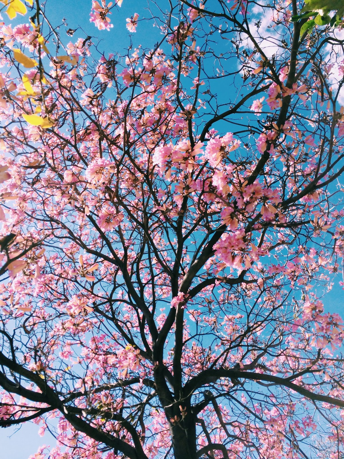 aesthetic-cherry-blossom, flower pictures