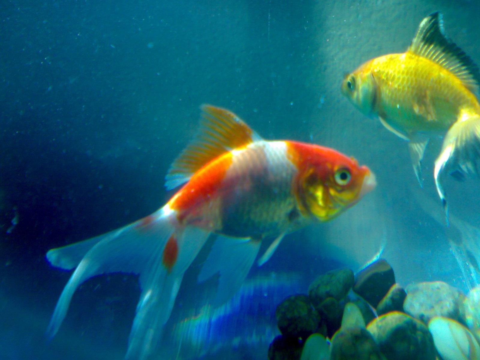 Beautiful Wallpapers for Desktop: Beautiful Fishes HD ...