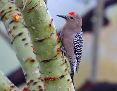 Photo of Gila Woodpecker on palo verde tree