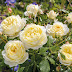 5 tips for growing 3 new fragrant David Austin Roses in your garden