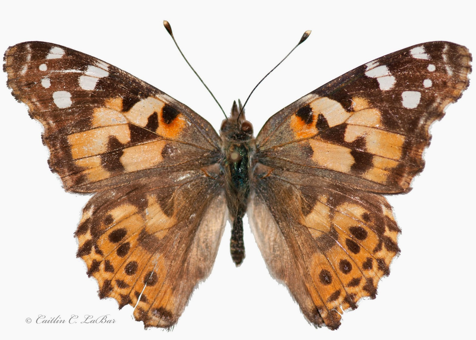Northwest Butterflies Painted Lady Migration