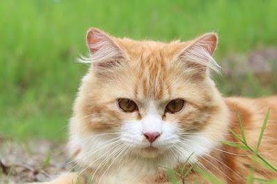 Cara Merawat dan Memelihara Kucing Mix Dome