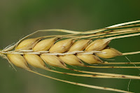 barley benefits,jau health benefits