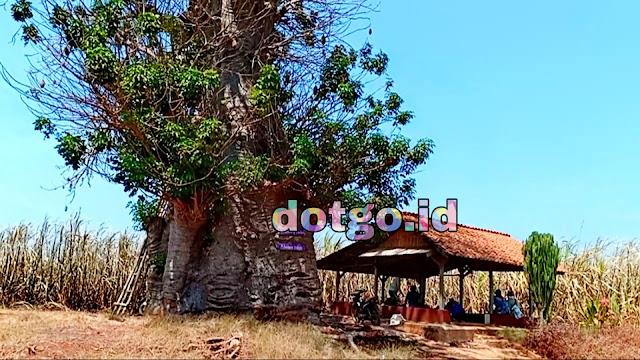 Pohon Baobab Ki Tambleg Pohon Raksasa yang angker di tengah perkebunan tebu Subang Ki Tambleg