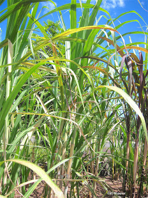 sugar cane, Saccharum officinarum