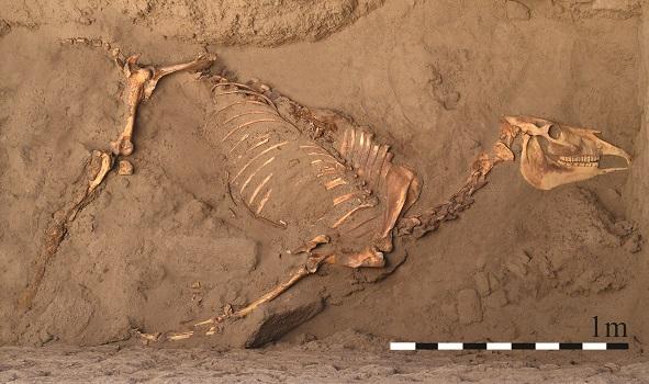 Il y a 3000 ans, un cheval inhumé comme les hommes