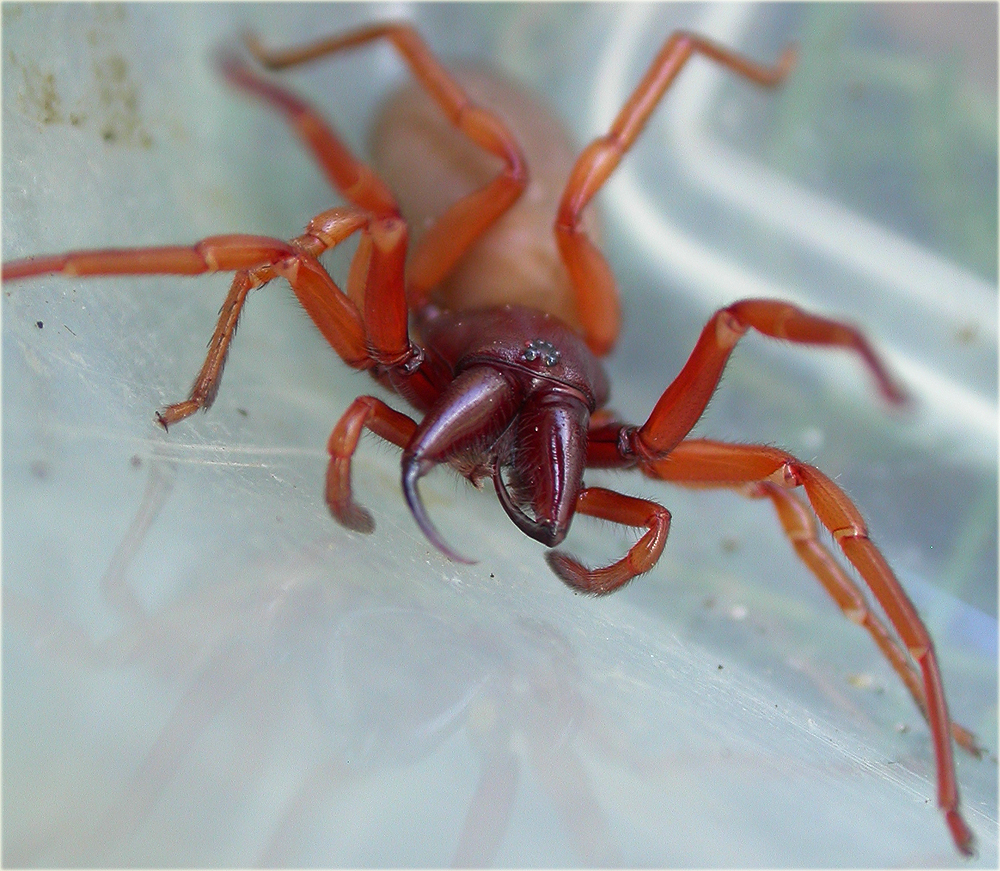 Arachnerds woodlouse spiders dysdera sp for Extra mural cemetery brighton